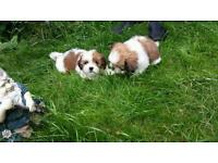 Lhasa Apso puppies for sale in Sheffield