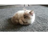 Pure ragdoll kittens