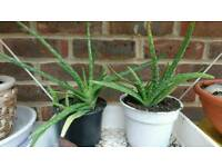 Medium Aloe Vera Plant
