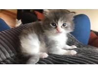 Male ragdoll x chinchilla Persian kitten