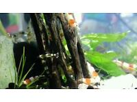 Crystal bee shrimp, mixed breed, 1cm
