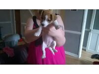 8 week old jack Russell for sale white and tan
