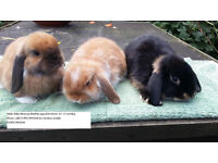 Pretty Baby Minilop Male Rabbits
