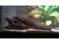 Sharp Ribbed Newts - Europe's largest newt.