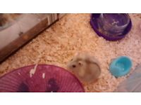 Tiny Dwarf Hamster (Phillip): Friendly and cute.