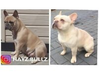 QUALITY ROLEX FRENCH BULLDOG PUPS KC REG READY TO LEAVE