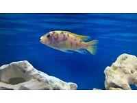 malawi cichlid tropical fish