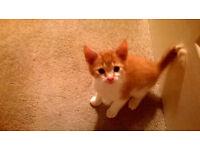 Ginger 9 week old boy