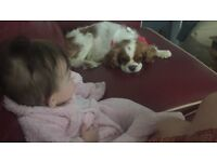 King Charles spaniel 5 year old female