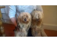 two Yorkshire terrier's for sale