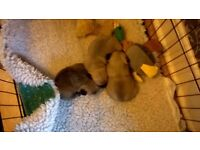 male pug puppies kc registered 2 fawn and 1 apricot