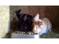 Beautiful lionhead cross bunnies for sale £10 each.