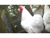 Pair of White Wyandotte Bantams for sale - unrelated