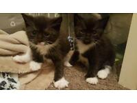 Beautiful black and white kittens