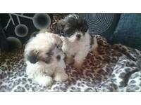 shih tzu x bichon frise/ teddy bear puppies