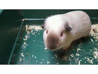 Free Himalayan guinea pig