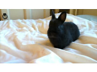 baby boy ebony netherland dwarf rabbit for sale