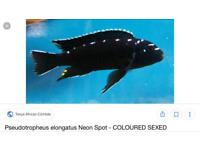 Malawi Neon spot cichlid fry