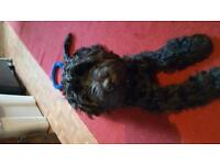 5 AND A Half MONTHS OLD MALE Black COCKERPOO For URGENT Sale