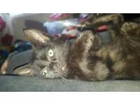 Last kitten burmilla/burmese