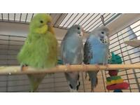 Budgies 4 months old