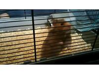 4 month old male Syrian hamster and 2 cages.