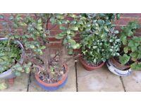 Gardener for private gardens or Gardener's Assistant