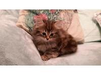 Beautiful male MainecoonX kitten