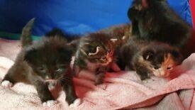 Kittens for sale, rehoming 5th November