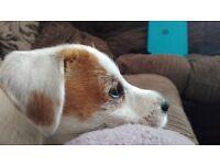 Parson Russel Terrier Puppy