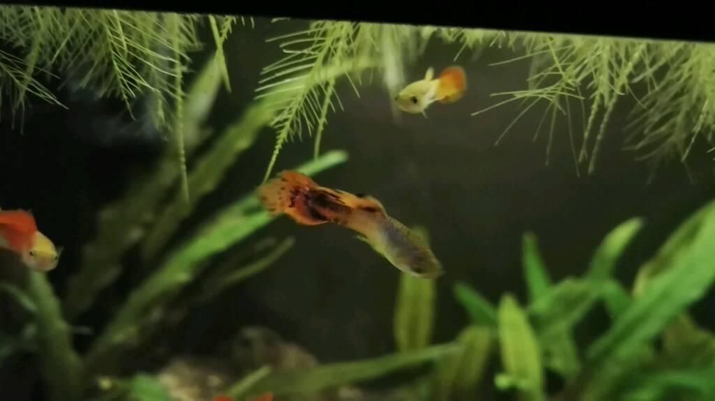 Pink platinum guppies / guppy fish - 3 males and 3 females
