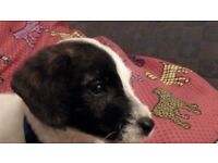Gorgeous male Jack Russell puppy looking for his forever home.