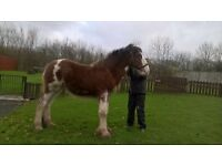 Clydesdale yearling