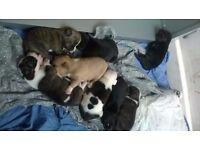Stunning husky cross puppies. please read description.