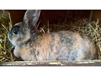 rabbit (female)free to good home!