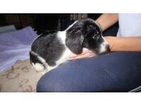 Sprocker Spaniel Puppy(Boy)