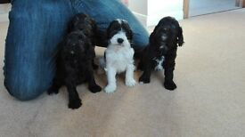 beautiful chunky sproodle puppies for sale.