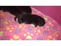 Top quality Pekingese puppy's