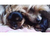 Puppies York terier