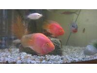 2x parrot fish