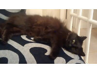 STILL MISSING our beautiful black long haired domestic female cat 'GREMLIN'
