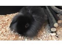 Long haired lop rabbit
