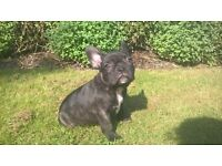 French Bulldog rare Choc,blue carrier