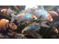Japanese koi shubunkin goldfish