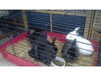 Lionhead Cross bunnies for Sale and Large rabbit free to good home