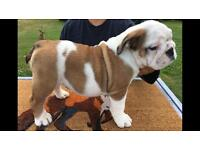 English Bulldog Puppies, British Bulldog