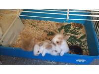 Lionhead rabbits