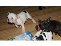 French bulldog pups ( blue lines) IKC Reg