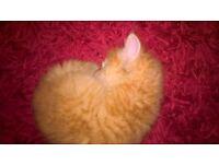 1 beautiful fluffy ginger female kitten