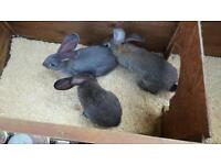 3 pure continental giant bunnies for sale